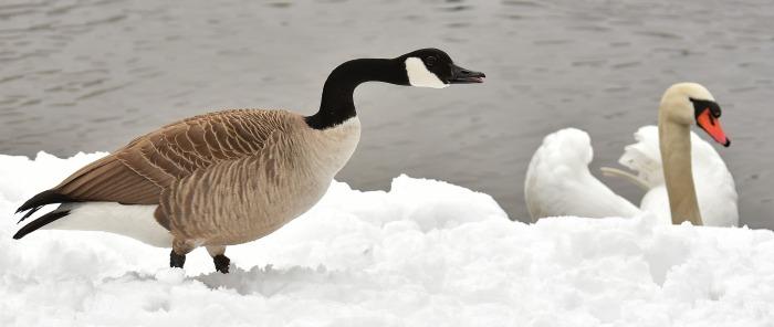 goose-3163386_1920